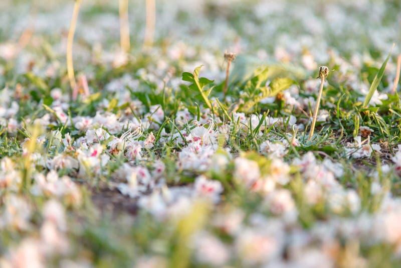Sfondo naturale Fiori bianchi e rosa caduti del castagno all'erba della molla Primo piano, fuoco selettivo fotografia stock libera da diritti