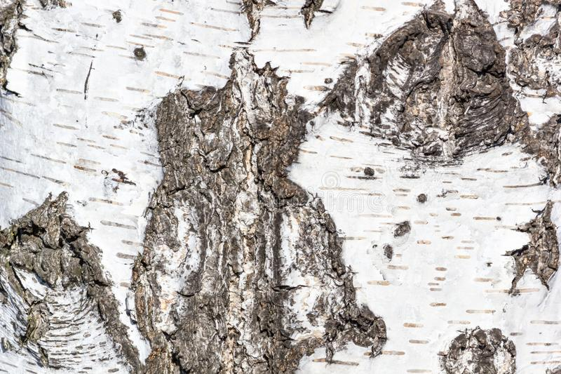 Sfondo naturale - la struttura orizzontale di un primo piano reale della corteccia di betulla fotografie stock