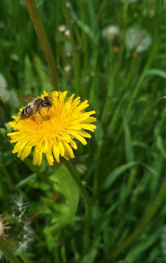 Sfondo naturale, un'ape su un dente di leone giallo fotografia stock
