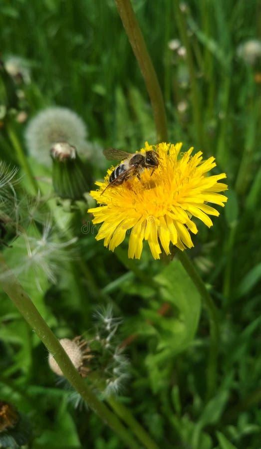 Sfondo naturale, un'ape su un dente di leone giallo fotografie stock libere da diritti
