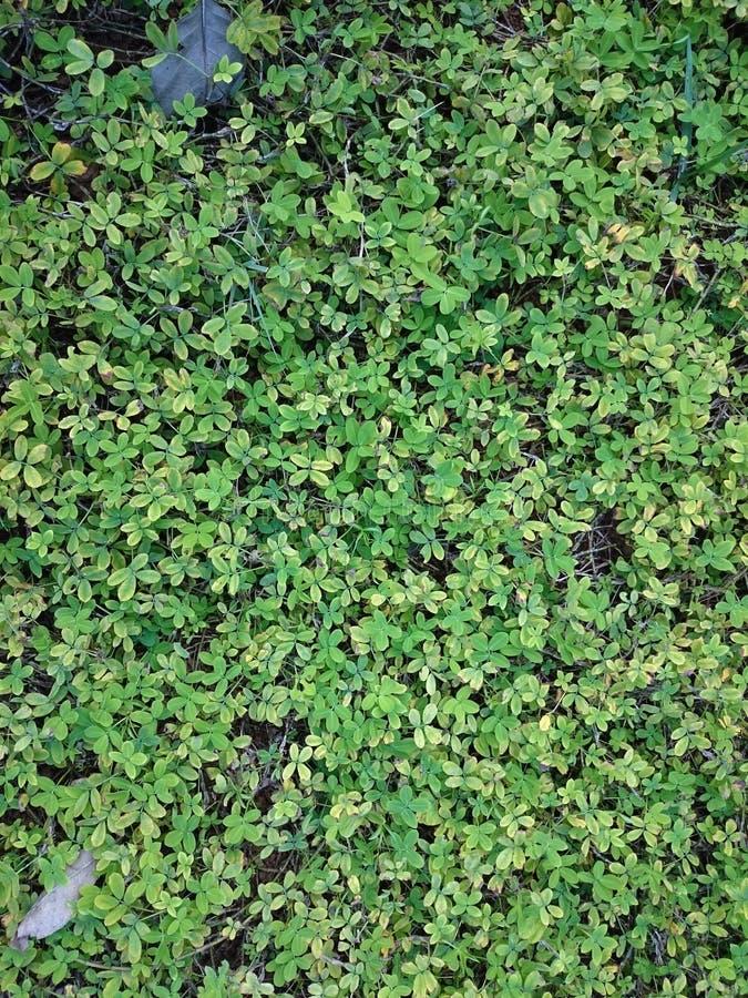 Sfondo naturale verde di piccole foglie Estate o spr della pianta fotografie stock