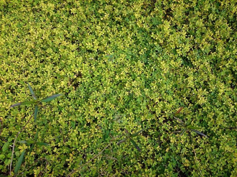 Sfondo naturale verde di piccole foglie Estate o spr della pianta immagine stock