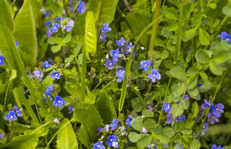 Sfondo naturale verde intenso con i colori di campo blu fotografia stock