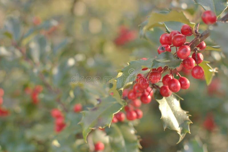 Sfondo pianta di Mistletoe per l'utilizzo del testo grafico dello sfondo delle festività natalizie fotografia stock libera da diritti
