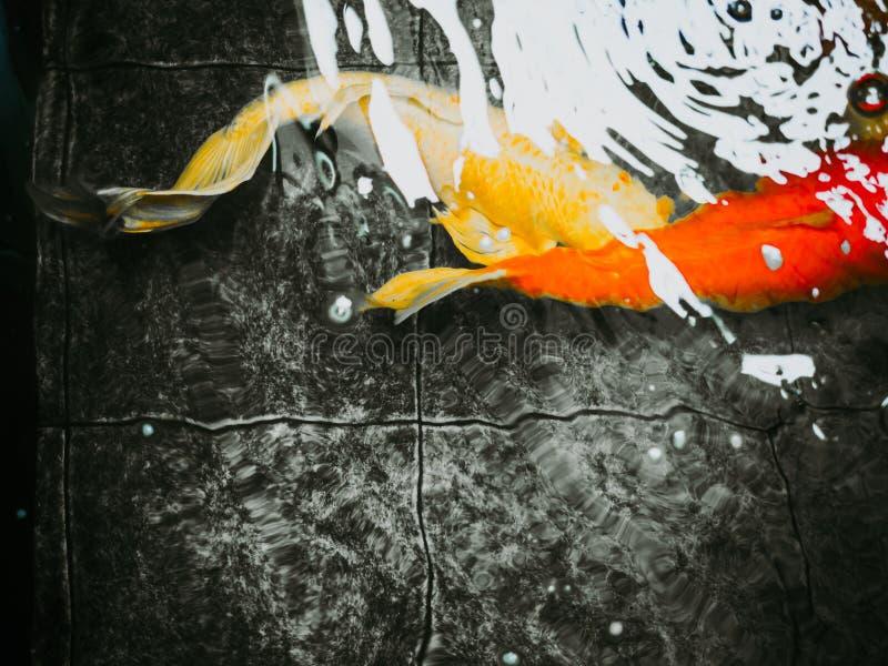Sfuocatura astratta: nuotata lunga della pinna caudale della carpa operata dell'oro sotto acqua immagini stock