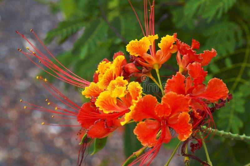 Sgargiante o delonix regia fiorisce in un giardino tropicale di Tenerife, isole Canarie, Spagna Albero di fiamma di fioritura del immagine stock libera da diritti