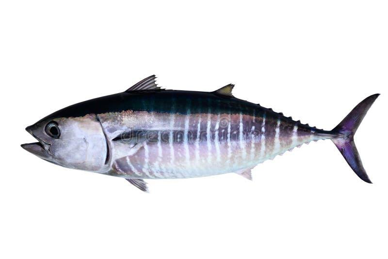 Sgombro di tonno rosso isolato su priorità bassa bianca fotografia stock