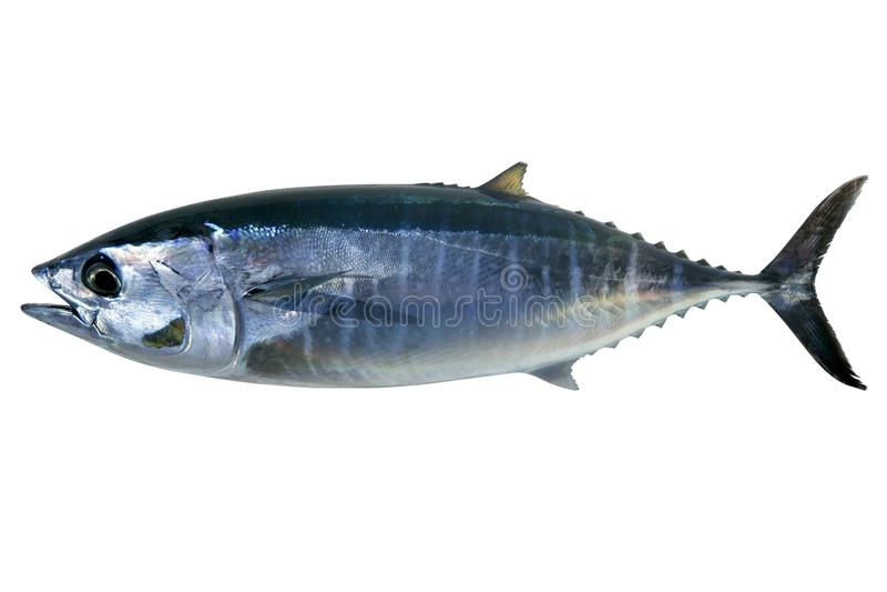 Sgombro di tonno rosso isolato sul thynnus bianco del Thunnus immagini stock libere da diritti