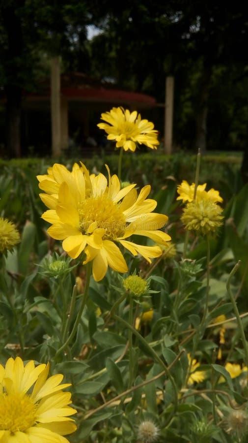 Sguardi del fiore di Chamanthi molto bei fotografie stock