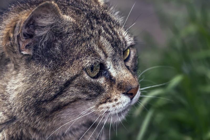 Sguardo attento di un grigio, gatto della via fotografie stock