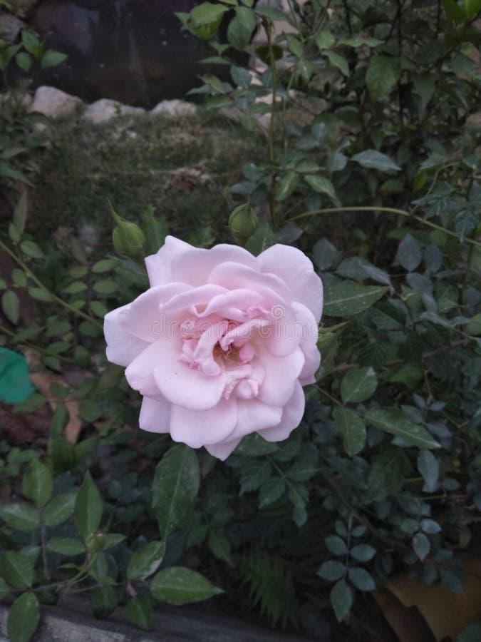 Sguardo attraente sembrante della rosa di bianco bello immagine stock