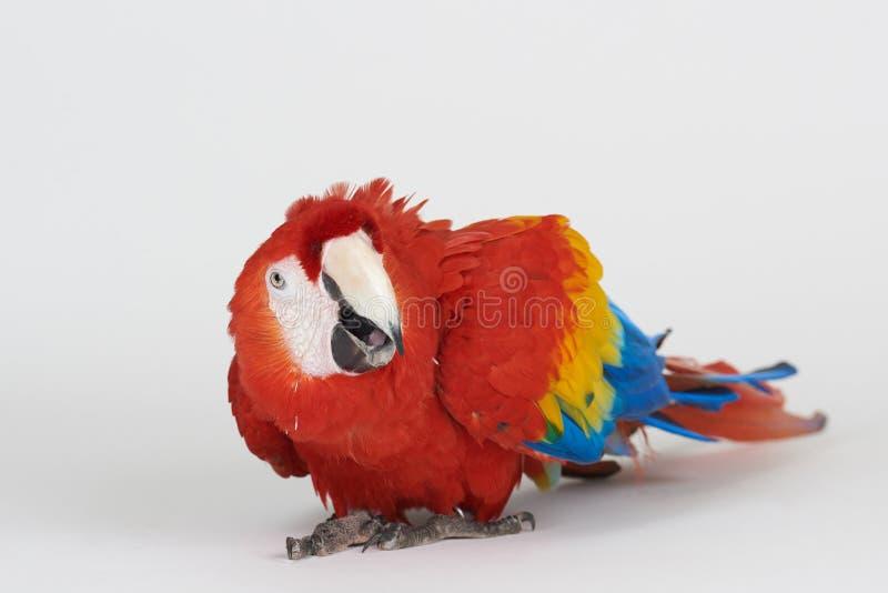 Sguardo in camera del pappagallo dell'ara immagini stock