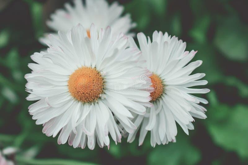 Sguardo d'annata dei fiori bianchi Fondo verde immagini stock libere da diritti