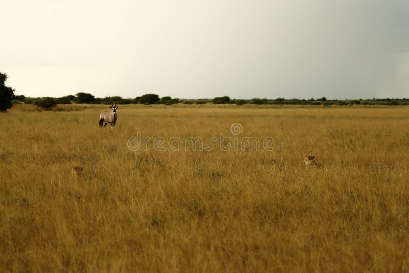 Sguardo dei ghepardi del Gemsbok fotografia stock libera da diritti