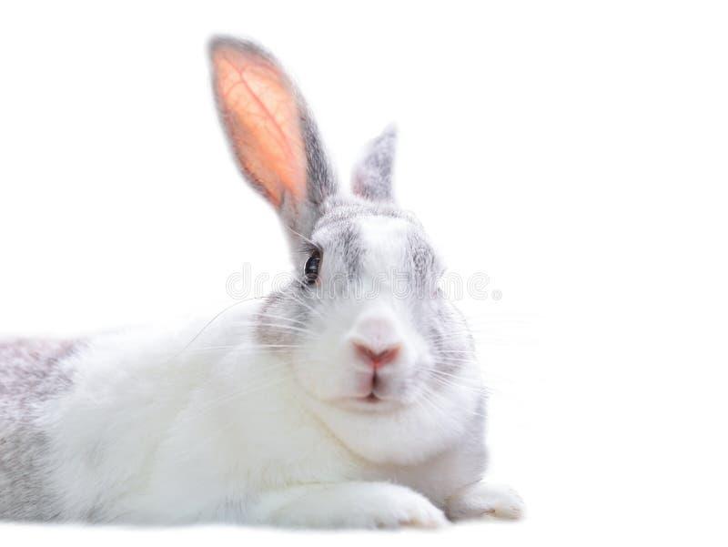 Sguardo del coniglio immagini stock