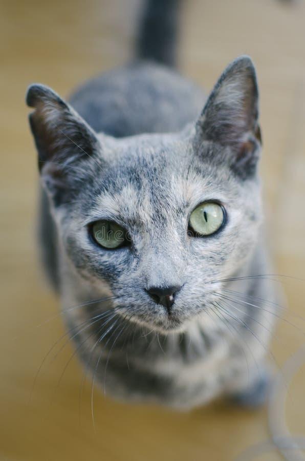 Sguardo del gatto fotografia stock immagine di europeo - Immagine del gatto a colori ...