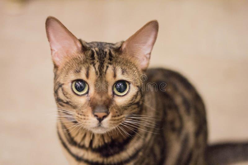 Sguardo del gatto del Bengala fotografie stock