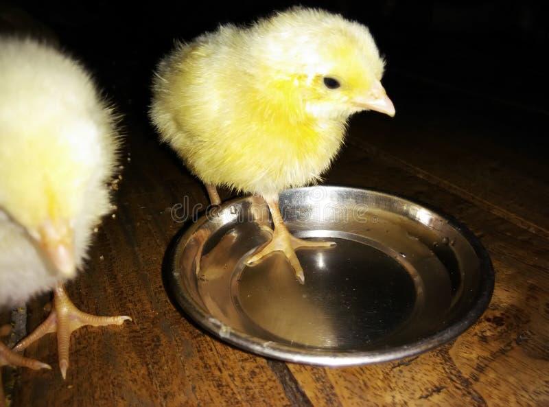 Sguardo del pollame immagini stock