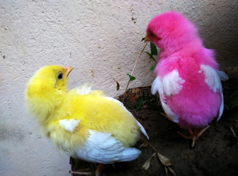 Sguardo del pollame fotografia stock libera da diritti