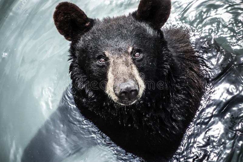Sguardo dell'orso fotografia stock libera da diritti