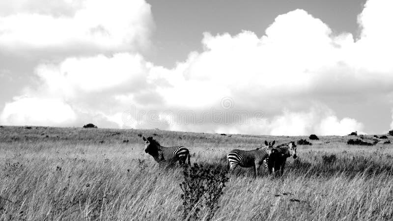 Sguardo della zebra del Sudafrica fotografia stock libera da diritti