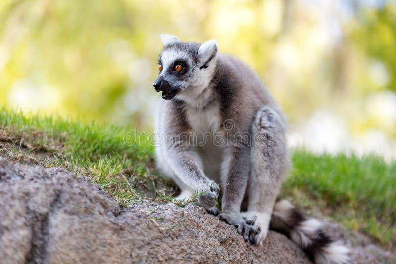 sguardo delle lemure fotografie stock libere da diritti