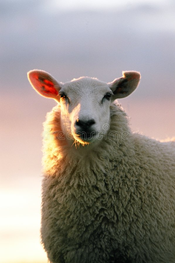 Sguardo delle pecore immagini stock libere da diritti