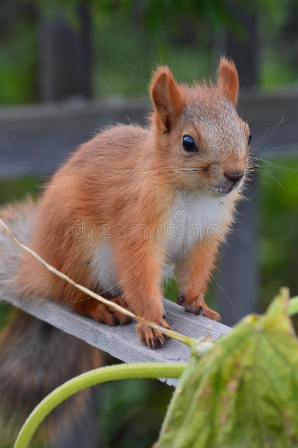 Sguardo dello scoiattolo immagine stock libera da diritti