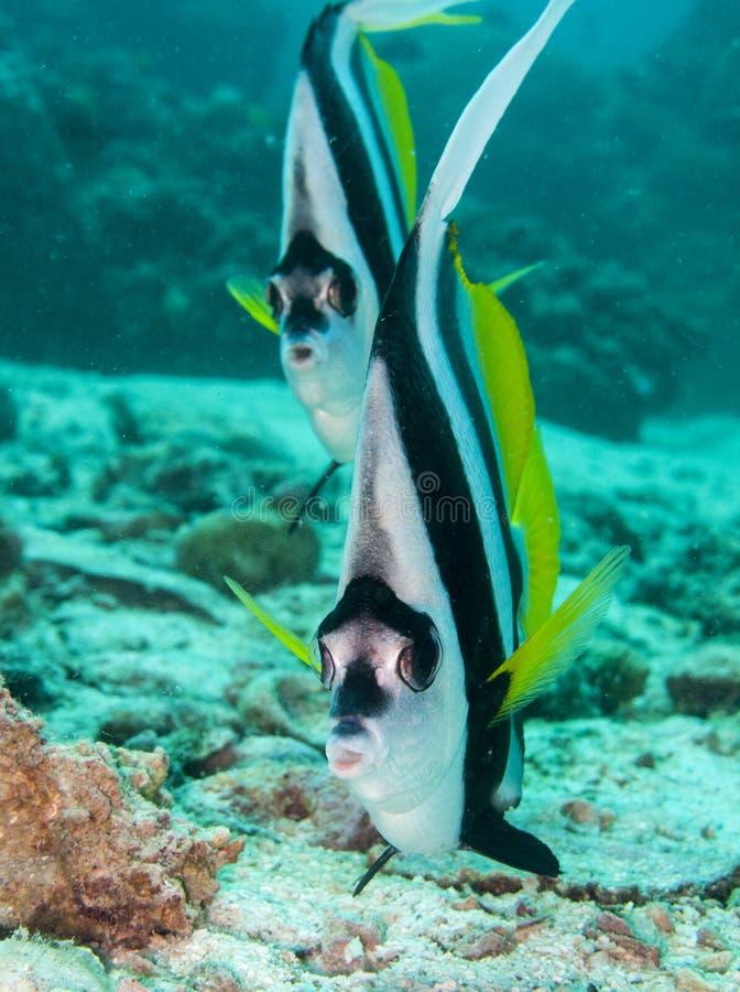 Sguardo di bannerfish di Longfin immagine stock