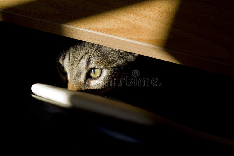 Sguardo felino immagini stock