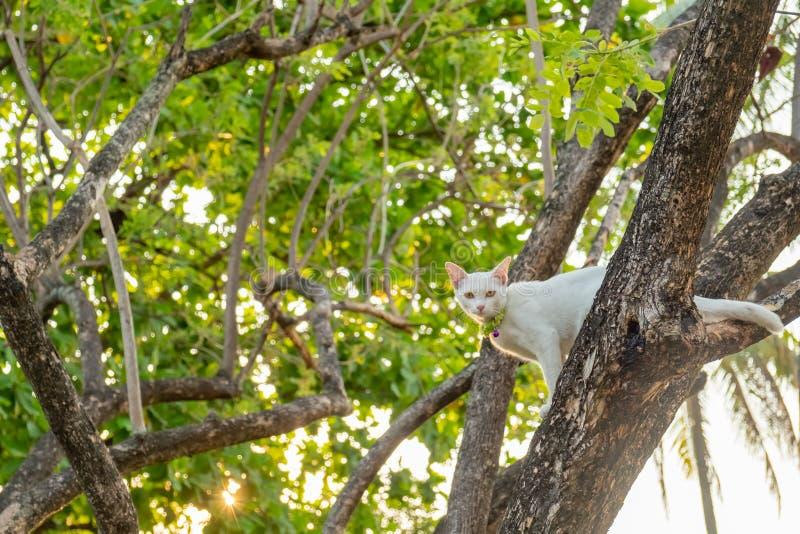 Sguardo fisso bianco impertinente del gatto direttamente in dubbio fotografie stock libere da diritti