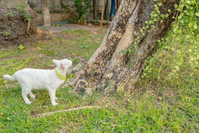 Sguardo fisso bianco impertinente del gatto a qualcosa immagini stock libere da diritti