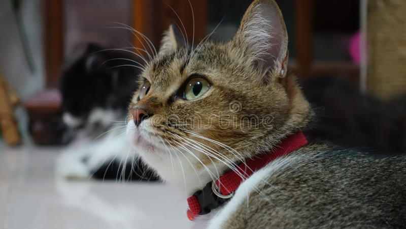 Sguardo fisso del gatto fotografie stock libere da diritti