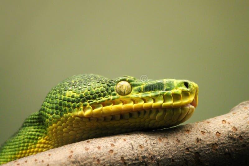 Sguardo fisso del serpente immagini stock libere da diritti