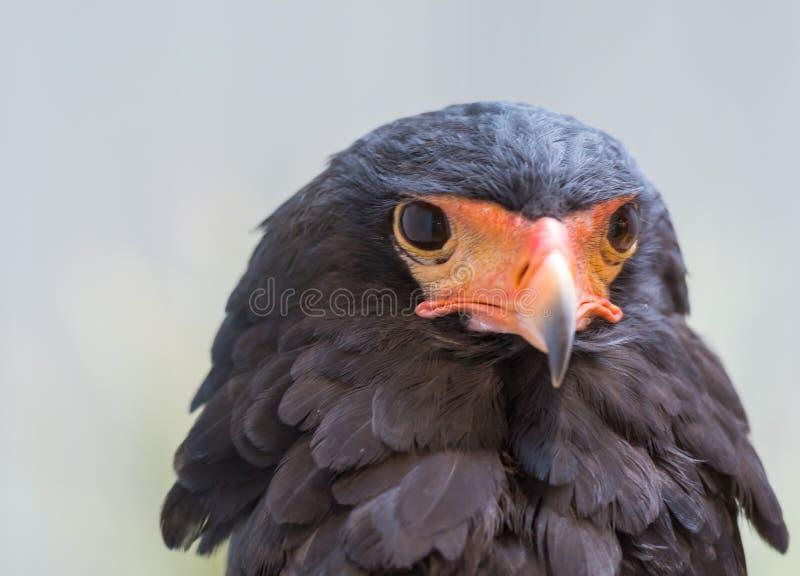 Sguardo fisso di Eagle fotografie stock libere da diritti