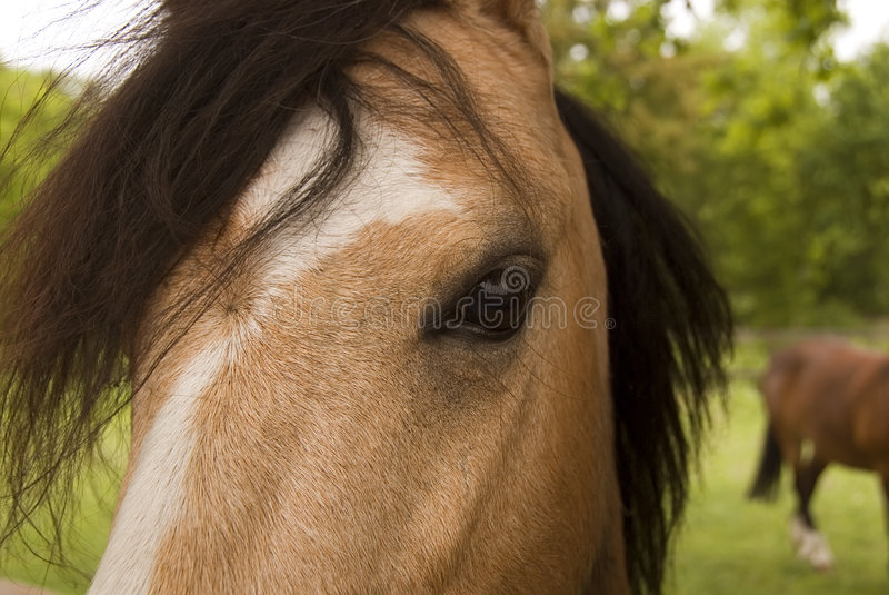 Sguardo fisso di fusione del `s del cavallo immagine stock libera da diritti