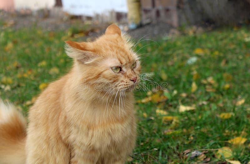Sguardo fisso di un gatto rosso immagine stock libera da diritti