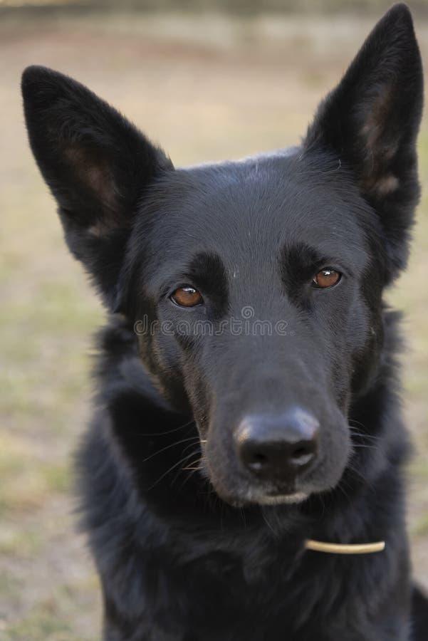 Sguardo fisso intenso di espressione del cane da pastore tedesco nero fotografie stock libere da diritti
