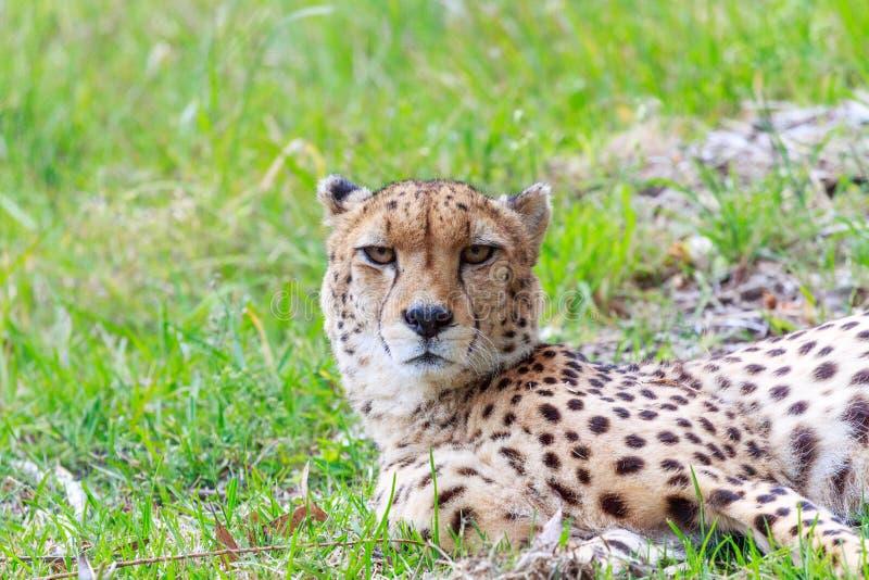 Sguardo fisso profondo da un ghepardo fotografia stock