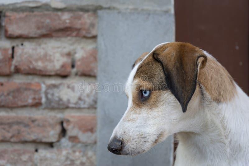 Sguardo fisso serio ed intenso del cane di espressione fotografia stock libera da diritti