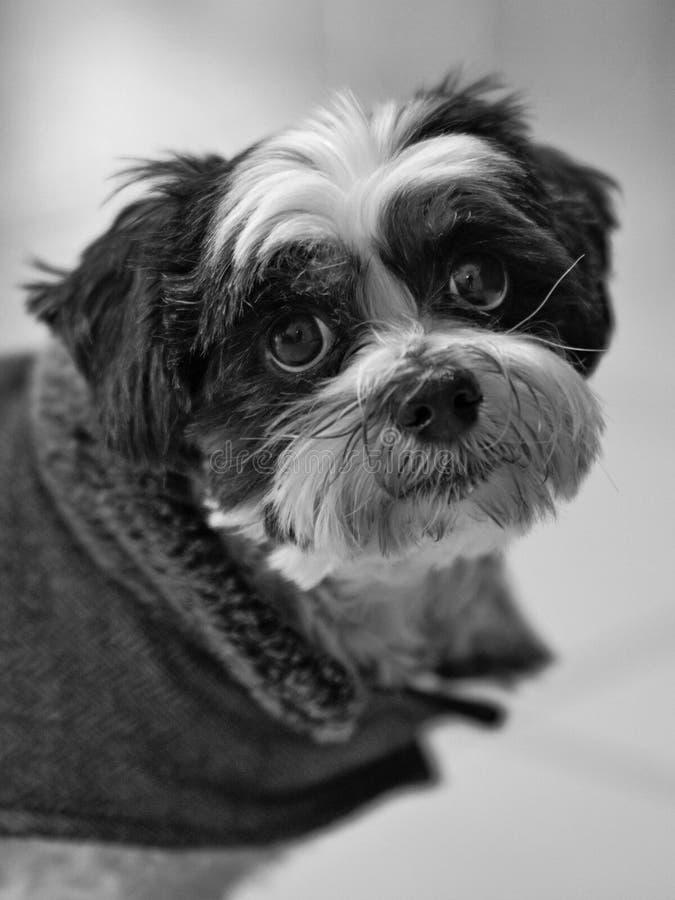 Sguardo fisso triste del cane fotografie stock libere da diritti