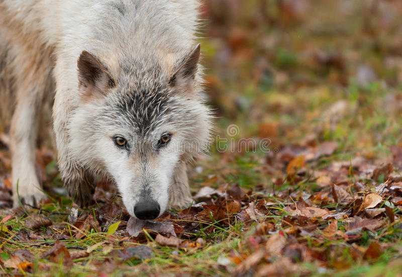 Sguardo intenso biondo del lupo (canis lupus) fotografia stock