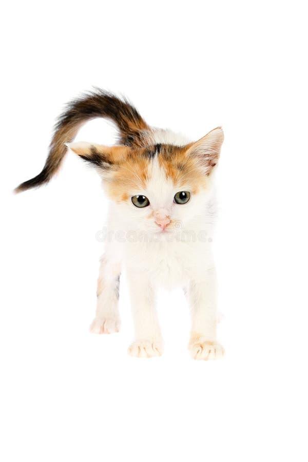 Sguardo sveglio e divertente, arrabbiato, calicò bianco due mesi del gattino con la coda gonfia isolata su fondo bianco immagini stock
