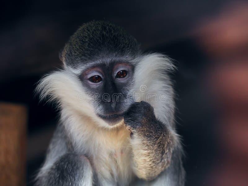 Sguardo triste e sorpreso della scimmia a sinistra fotografia stock
