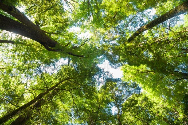 Sguardo verso l'alto attraverso gli alberi al baldacchino alto sopra fotografia stock libera da diritti