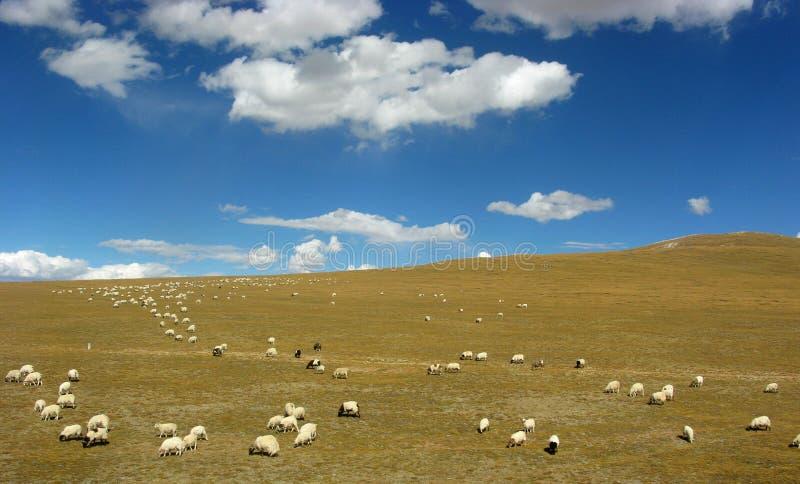 sh eep van schapen kudde het voeden in het gras royalty-vrije stock foto