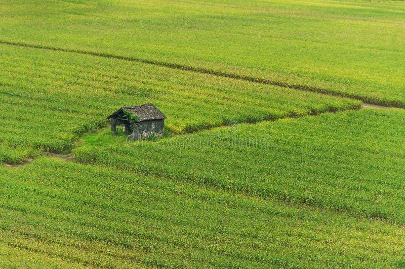 Shack in corn field