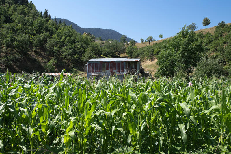Shack in field of corn crop stock image