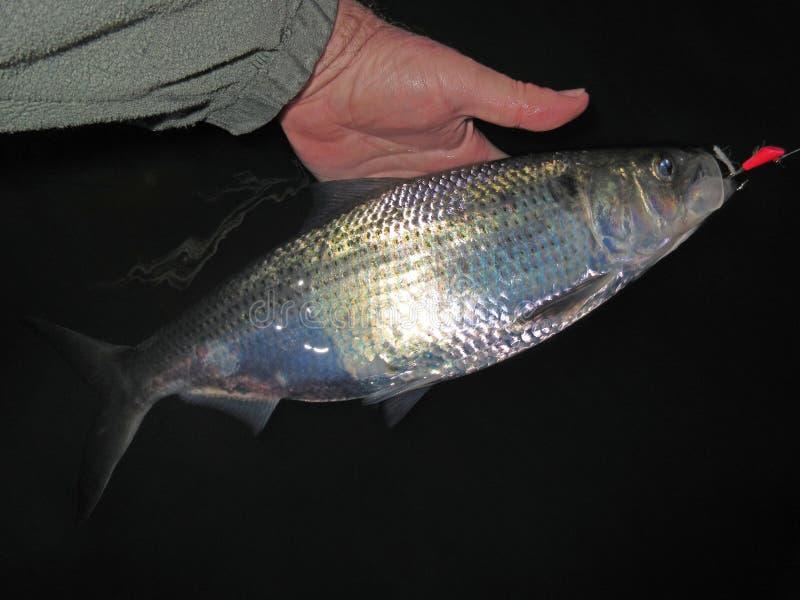 Shad Fishing bij Nacht stock foto's