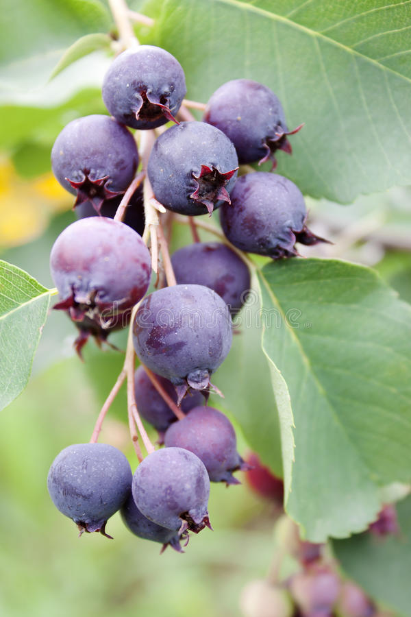 shadberry ягод стоковая фотография rf